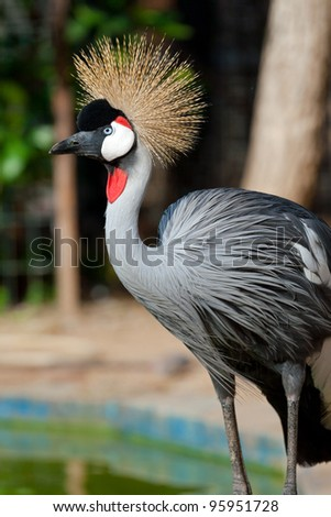 Crowned crane shows it self in the zoo