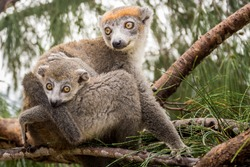 Crowned lemur (Eulemur Coronatus), endemic lemur from northern Madagascar