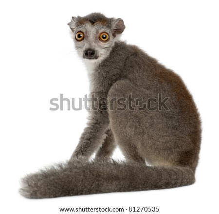 Crowned lemur, Eulemur coronatus, 2 years old, in front of white background - stock photo