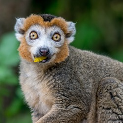 crowned lemur, macro
