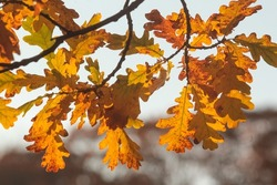 Crowns of autumn trees in sunlight. Atmospheric autumn landscape.