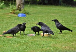 Crows are large birds with shiny black feathers. They often live together in large families. They are known for their loud voices and their intelligence.