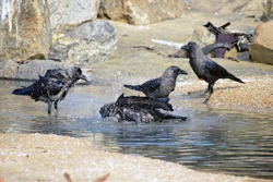 crows bathing and drinking water