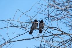 crows in tree branch, raven - bird