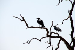 Crows on dead tree