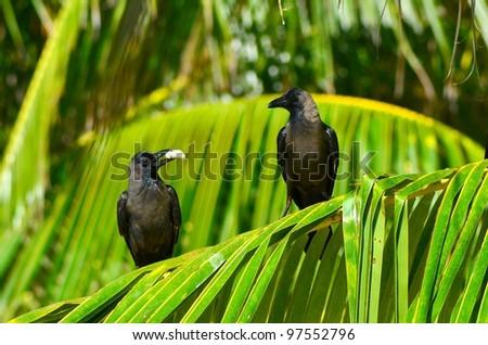 Crows Resting At Raa Atoll Inguraidhoo, Maldives