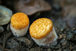 Crucibulum is a genus in the Nidulariaceae, a family of fungi whose fruiting bodies resemble tiny egg-filled birds nests. , an intresting photo