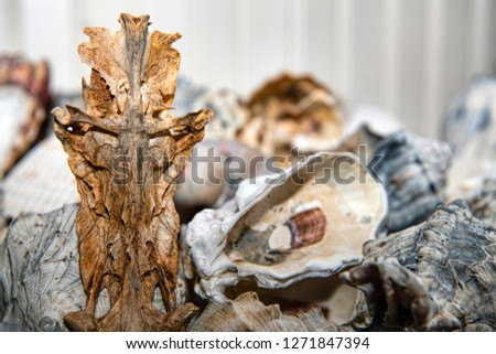 Crucifix Fish and Other Miscellaneous Seashells from Gulf of Mexico #1271847394