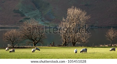 Crummock Sheep