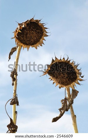 Crumpled Sunflowers like a man and a woman meeting together
