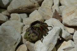 crustacean in a shell, beach in croatia