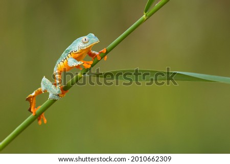 Cruziohyla craspedopus, the fringed leaf frog or fringed tree frog. It is found in the Amazonian lowlands in Brazil, Colombia, Ecuador, and Peru, and possibly in Bolivia Stockfoto ©