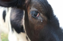 Crying cow - close up