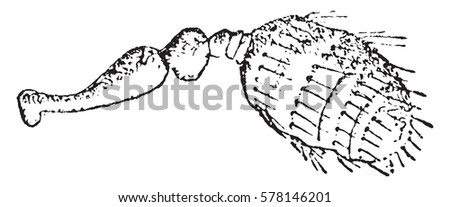Cryphalus, vintage engraved illustration. #578146201