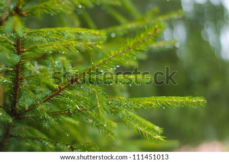 Crystal Raindrops on green pine tree needles