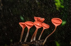 CSmall colorful mushrooms in the forest Called red cup mushrooms Or champagne mushrooms or cookeina sulcipes.