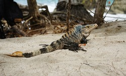 Ctenosaura similis lizard, male black spiny-tailed iguana sitting in sand on the beach