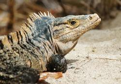 Ctenosaura similis lizard, side portrait of black spiny-tailed iguana