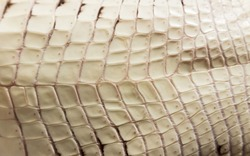 cub Nile crocodile Crocodylus niloticus. The texture beige plates of scaly skin on the stomach