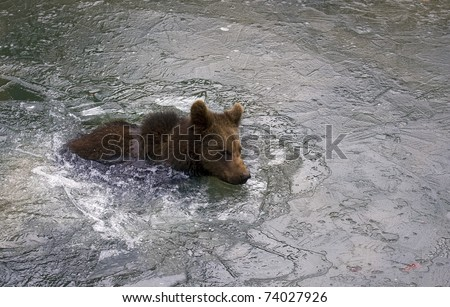 cub of brown bear in the lake