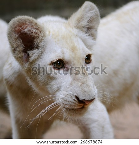 Cub of white lion close up to face and head