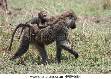 Cub riding on baboon mother in National Park