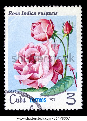 CUBA - CIRCA 1979: A stamp printed in Cuba shows chinese tea rose, series, circa 1979