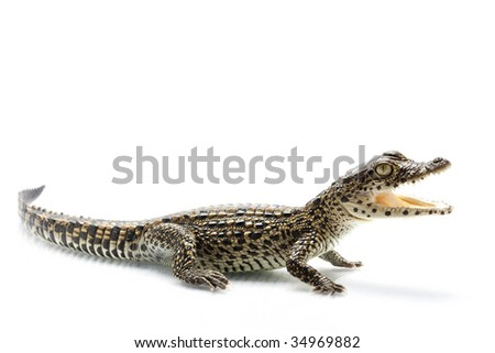 Cuban crocodile (Crocodylus rhombifer) isolated on white background.