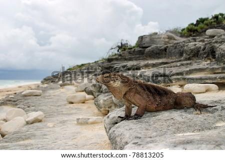 Cuban Iguana, wildlife