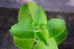 Cuban oregano, Mexican mint, Indian mint, Spanish thyme or Thick leaf thyme(Plectranthus amboinicus)