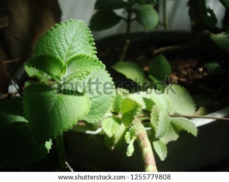 Cuban Oregano, Oregano Orejon is a medicinal plant #1255779808