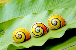 Cuban snail, Polymita picta : Most colorful land snail from Cuba, Painted snail on green fern leaf