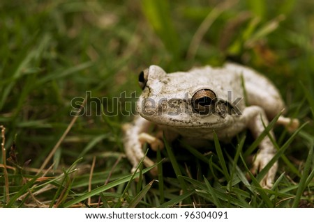 Cuban tree frog in the green grass