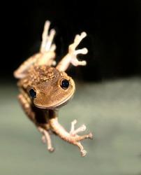 Cuban Tree Frog on a window at night