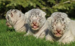Cubs of a white Bengal tiger in a zoo in the city of Belogorsk (Crimea, Crimean peninsula).