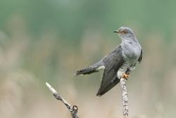 Cuckoo (Common cuckoo) Coculus  canorus