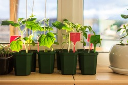 Cucumber and tomato seedlings in flower pots on a balcony window sill. Planting, urban home balcony gardening concept
