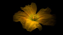 cucumber flower with black background. Female Pumpkin (Cucurbita) flower with black background.