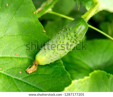 Cucumber plant. Cucumber growing on bush in the garden. Fresh organic cucumber vegetable with green leaves and yellow flowers. #1287177205