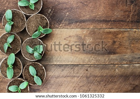 Photo of Cucumber plants in seedling peat pots over a rustic wooden table. Image shot from above in flat lay style.