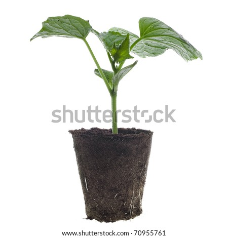 cucumber seedling in a peat  pot isolated on white background