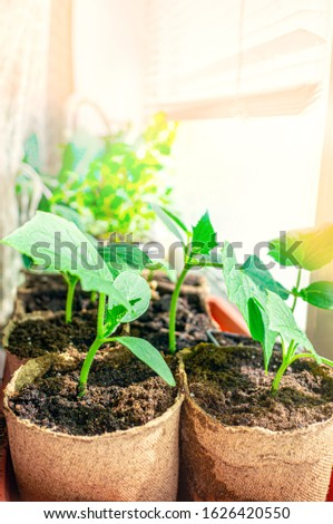cucumber seedlings are planted in eco-friendly peat pots in the house on the window. No plastic. Preparation for planting plants in the garden. Selective focus