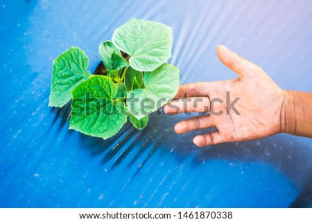 Cucumber seedlings.Cucumber plants starting to grow. Farming, Seedling, Vegetable Garden, Rooftop, Warehouse, Built Structure #1461870338