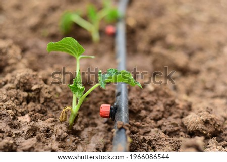 cucumber seedlings grown with drip irrigation system. close up Foto stock ©