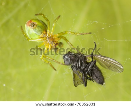 Cucumber spider with caught fly, extreme close up with high magnification