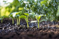 Cucumber sprouts in the field and farmer  is watering it;   seedlings in the farmer's garden , agriculture, plant and life concept (soft focus, narrow depth of field)