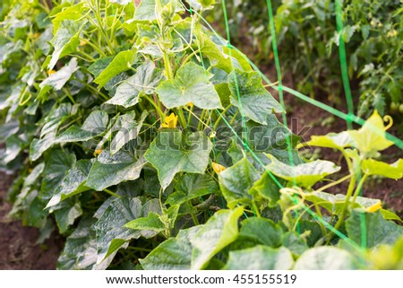 Free photos a vine creeping stems avopix cucumber yellow flowers creeping vines and green leaves on the supporting netting 455155519 mightylinksfo