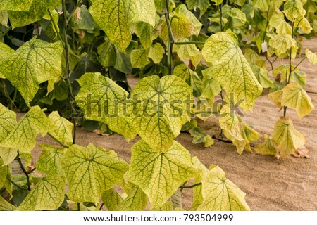 Cucurbit yellow stunting disorder virus in cucumber #793504999