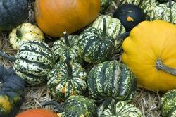 Cucurbita pepo; pumpkin
