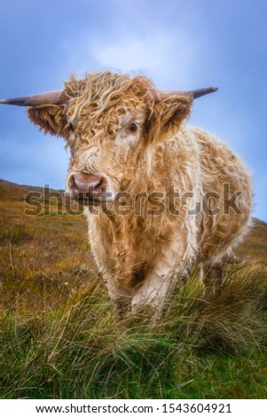 Cuddly highland cow standing on pasture and looking at camera.Farm animal.Agriculture in rural Scotland.Bright and vibrant image of adorable cow.Domestic cattle UK. #1543604921
